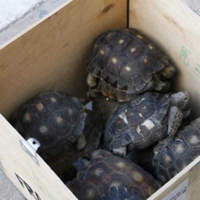 Mínima la depredación y tráfico de tortuga en Yucatán