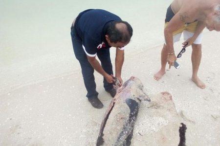 Recala delfín muerto entre Uaymitún y Telchac Puerto