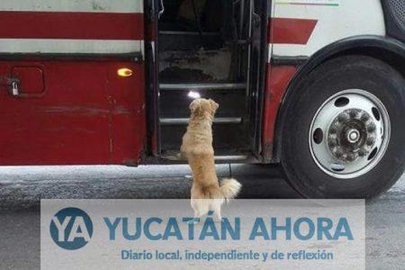 Brandy, el perro que se extravió por subir a un camión de la Alianza