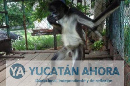 Pobladores de Maxcanú tenían en cautiverio a monos araña