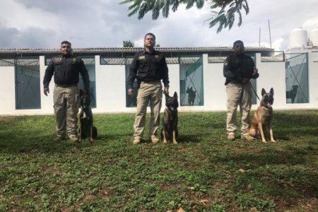 Llegan de EUA perros antinarcóticos para la SSP Yucatán