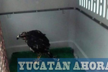 Restablecen la salud de una aguililla y la liberan en la reserva El Palmar