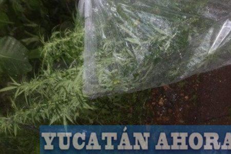 Descubren mini plantío de marihuana en Maní