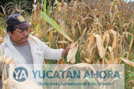 Bajo estudio la meta de producción de maíz