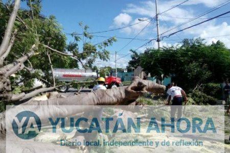 Cae enorme flamboyán y afecta servicios de agua, electricidad y telefonía