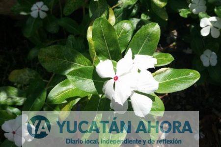 La vicaria blanca, otro remedio natural contra la conjuntivitis