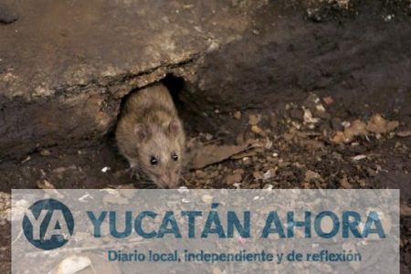 Reaparece el tifo, mal propagado por las ratas