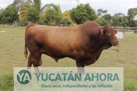 Yucatán ha comercializado unas 80 mil reses en 2017