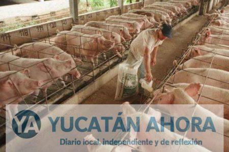 Incertidumbre en la porcicultura por el dólar y TLC