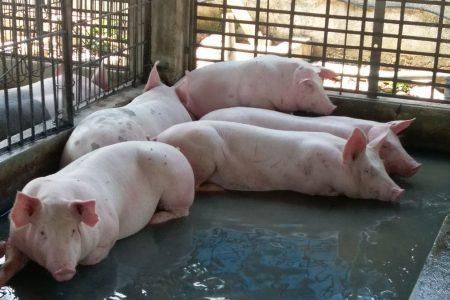 Yucatán pasa al tercer lugar nacional en producción de cerdos