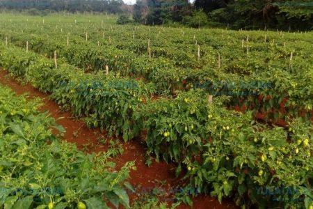 Pronostican aumento de producción agrícola a pesar de inundaciones