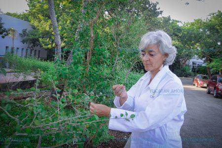 Yucatán desaprovecha beneficios de la albahaca de monte