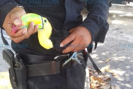 Atrapan un tucán en calles del norte de Mérida