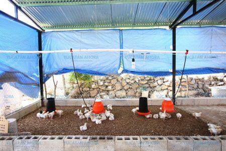En franco ascenso la avicultura en Yucatán