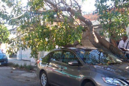 Árbol de chacá se recuesta sobre un Sentra en Francisco de Montejo