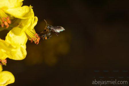 Se alían con abejas meliponas entusiastas, productores y académicos