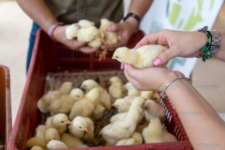 A la expectativa el alza de precio en pollo y huevo