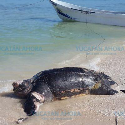 Con 14 hombres retiran tortuga muerta que recaló en Progreso