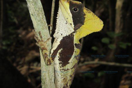 Nueva especie de reptil registrada en Yucatán