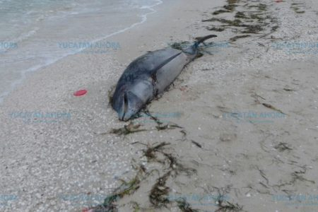 ¿Cuántos más? Recala otro delfín muerto, ahora en la playa de Chelem