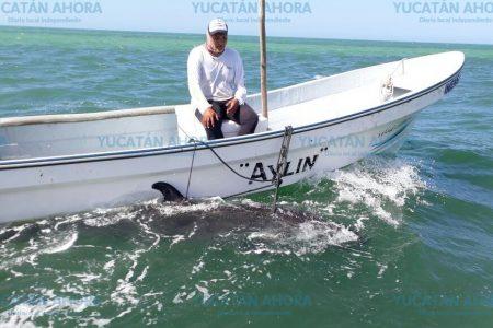 Dos falsas orcas quedan varadas en aguas bajas de la Biosfera Ría Lagartos