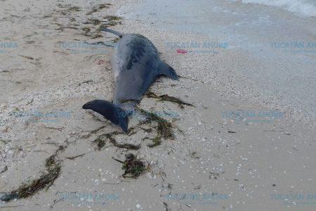 Exoneran a los humanos de la muerte del delfín que recaló el lunes