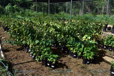 Rescatan del olvido 260 plantas medicinales mayas