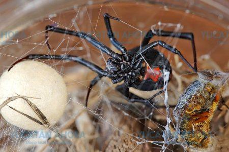 La araña 'viuda negra' atacó a seis yucatecos de 2016 a la fecha