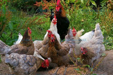Mortandad de aves de traspatio y hasta perro callejeros en Peto