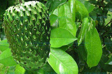 Guanábana, la mejor quimioterapia natural