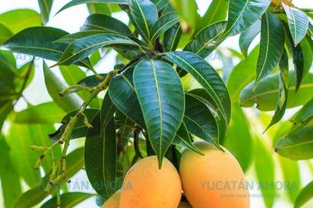 Hojas de mango para el control de los niveles de azúcar en la sangre
