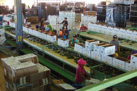 Valle Sur está poniendo a Yucatán en el mapa de los mejores productores de hortaliza
