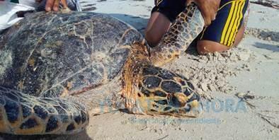 Vara tortuga de carey en Río Lagartos