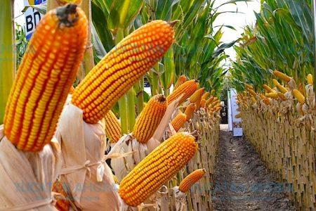 Yucatecos consumen maíz transgénico procedente de Estados Unidos