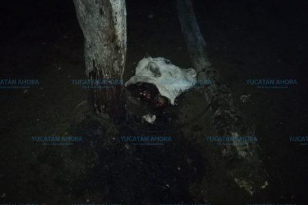 Denuncian cínica y atroz matanza de becerro en un rancho de Chicxulub Puerto