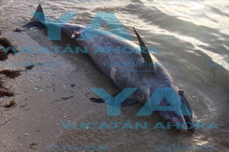 Hallan delfín muerto flotando cerca de la playa de Progreso