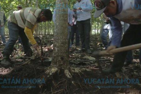 Aparición de un hongo está afectando a la reina de las maderas en Yucatán