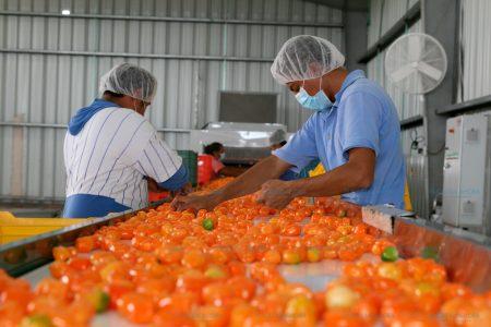 Yucatán empezará a extraer molécula del chile habanero para la industria