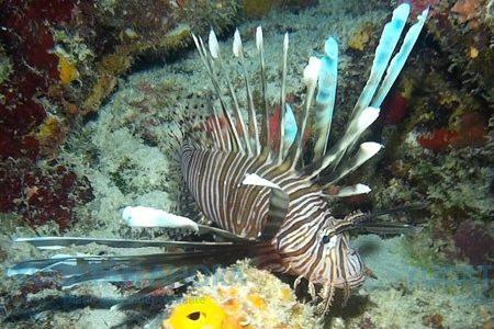En peligro 167 especies del Atlántico ante el voraz pez león