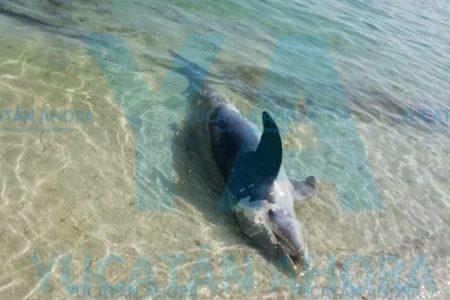 Aparece muerto un delfín en la costa norte de Yucatán