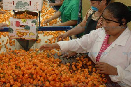 Chile habanero, alternativa natural para la obesidad en la menopausia