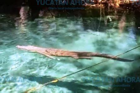 Cocodrilo ataca a una turista en el ojo de agua de Celestún