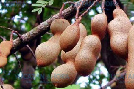 El tamarindo, una deliciosa 'farmacia' natural que abunda en Yucatán