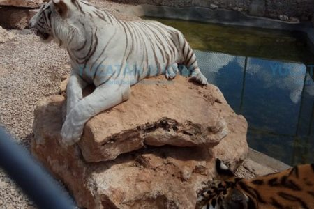 Profepa asegura tigres en un rancho de Yucatán