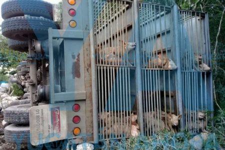 Vuelca remolque con 500 cerdos; ninguno muere