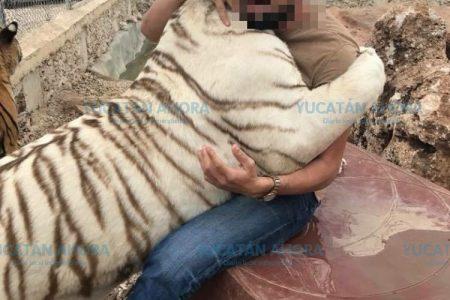 Profepa, PGR y Ministerio Público, con la mira en el ataque de un tigre en Yucatán
