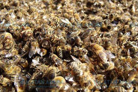 Acusan a empresario yucateco de matar millones de abejas en Quintana Roo