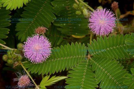 Sensible planta del monte yucateco, ideal para aliviar hemorroides