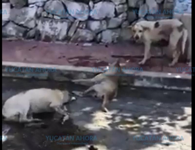 Denuncian cruel exterminio de perros en Buctzotz
