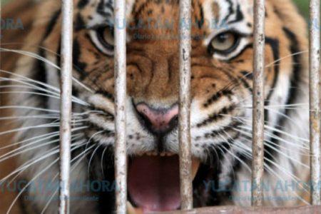 Tigre ataca a un menor de edad dentro de una jaula, en un predio particular
